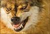 www.durmaplay.com_oyun_wallpaper_17528.jpg (http://www.durmaplay.com) Tags: winter snow animal germany mammal bayern nationalpark wolf sneeuw duitsland naturpark bayerischerwald beieren zoogdieren hvhe1 hennievanheerden wwwdurmaplaycom