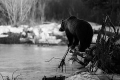 Grizzly Bear on Log (Free Roaming Photography) Tags: bear light shadow blackandwhite usa snow west tree male water monochrome animal creek standing river fur mammal climb stand nationalpark spring healthy wildlife large tags tagged climbing desire claw shade stump western northamerica curious wyoming grizzly predator boar grandteton claws jacksonhole wanting shaded grizzlybear grandtetonnationalpark 760 eartags buffalofork grizzlybear760