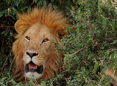 The King and I. (Rainbirder) Tags: kenya ngc npc africanlion maasaimara pantheraleo rainbirder
