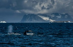 DSC_1718.jpg (Ashley.Cordingley1) Tags: sea storm elephant cold ice birds giant fur penguin extreme leopard seal british remote whales orca petrol wilderness humpback survey albatross antarctic peninsular weddell crabeater wilsons