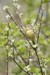 _53F0241 Orange-crowned warbler (~ Michaela Sagatova ~) Tags: bird photography spring dundas warbler orangecrowned birdphotography vermivoracelata dvca michaelasagatova