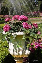 Hydrangea (wyojones) Tags: flowers trees green water fountain pool grass statue garden spring texas azaleas purple lawn houston hedge hydrangea np bayoubend imahogg houstonmuseumoffinearts wyojones