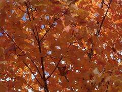 Wheaton, IL, Maple Fireworks (Mary Warren 10.3+ Million Views) Tags: red orange tree fall leaves maple foliage coth supershot wheatonil sunrays5
