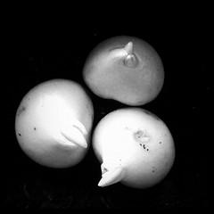 Tulips (airesdeflora) Tags: tulips bulbos tulipn bulbomania