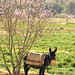 Moroccan donkey in spring flowers