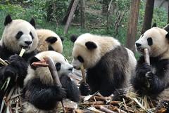 Crunchies (wfung99_2000) Tags: china baby panda feeding center bamboo research breeding chengdu cubs pandas