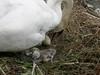 P5080088 (keepps) Tags: bird schweiz switzerland spring swan suisse nest cygnet vaud nyon
