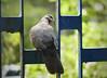 """Hang a Right!"" (Mike Goldberg) Tags: window pigeon dove jerusalem mikegoldberg panasonicfz35"