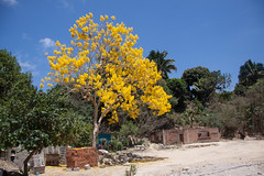 Beautiful Yellow Tree in Mismaloya, Jalisco, Mexico (ChrisGoldNY) Tags: travel trees latinamerica americalatina nature colors yellow canon poster mexico colorful colours forsale jalisco mexican viajes posters albumcover bookcover colourful mismaloya bookcovers albumcovers licensing chrisgoldny chrisgoldberg chrisgold chrisgoldphoto chrisgoldphotos
