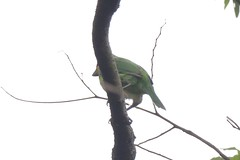 五色鳥 Photo