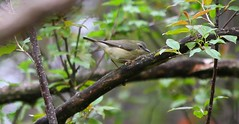 A Female Black-throated Blue Warbler (praja38) Tags: life trees wild ontario canada tree bird nature animals female forest spring wings woods branch wildlife wing beak feathers feather canadian whitby perch visits warbler capricorn migrant blackthroatedbluewarbler thicksonswoods