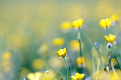 Meadow (djshoo) Tags: light summer yellow spring colours buttercup meadow 300mm wildflowers nottinghamshire 2014
