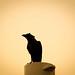 Raven غُراب