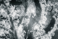 Ellingham Oak (Humphrey Hippo) Tags: wood uk trees england bw monochrome ir unitedkingdom doubleexposure hampshire explore infrared fujifilm 365 newforest rockford x100 720nm project365 explored niksoftware silverefexpro ir720nm silverefexpro2 fujifilmx100