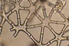 Knäuelbinse (planetvielfalt) Tags: liliopsida juncaceae poales commelinidae aerenchym amplival