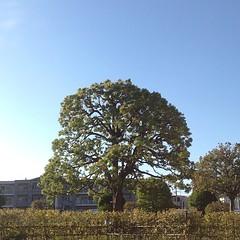 この〜木なんの樹木希林の木〜♬  (快晴)