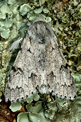 The miller (Acronicta leporina) (Ian Redding) Tags: uk fauna insect wildlife moth insects lepidoptera moths british