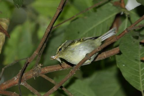 Phylloscopus davisoni - Davison's Leaf Warbler or White-tailed Leaf-warbler