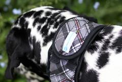 Aqua Keepcooler Halsband (blumenbiene) Tags: dog dogs female hund dalmatian hunde dalmatiner hündin