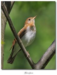Grive fauve / Veery IMG_6251 (salmo52 (En mode pause)) Tags: birds oiseaux victoriaville veery catharusfuscescens turdidae montarthabaska turdids grivefauve salmo52 alaincharette