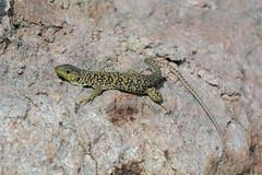Eyed lizard, Timon lepidus (willjatkins) Tags: eyedlizard timonlepidus frenchwildlife frenchlizards lizardsofprovence frenchreptiles wildlifeofprovence reptilesofprovence