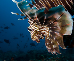 Lionfish (similan7seadiveclub) Tags: ocean life travel blue red sea fish water beautiful up animal coral closeup indonesia island spiky aquarium israel dangerous marine rocks underwater close florida redsea details bottom dive salt lion egypt deep scuba sharp ugly spike diver spotted aquatic fin reef fishes maldives lionfish beneath spiny mozambique fishy venom