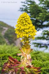 Coastal Succulent - Aeonium Arboreum (Ted Dudziak) Tags: succulent bokeh blooming mossbeachdistillery aeoniumarboreum debraleebaldwin aeoniumfloribundum coastalsucculent