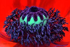 Des croches d'encre (Hélène Quintaine) Tags: fleur fruit rouge juin noir heart jardin capsule vert pistil poppy printemps pétale coquelicot cœur pavot croche poppyheart étamine stimate cœurdepavot