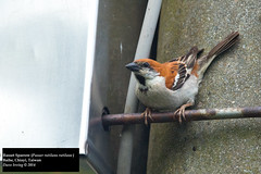 Russet Sparrow (Passer rutilans rutilans) (Dave 2x) Tags: cinnamon taiwan sparrow chiayi baihe russetsparrow passerrutilans cinnamontreesparrow daveirving passerrutilansrutilans httpwwwdaveirvingwildlifephotographycom