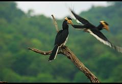 "the-departure (Dinesh ""Canon"" Duggiralla) Tags: nature wildlife karnataka dandeli hornbills ganeshgudi canon60d sigma150500mm"