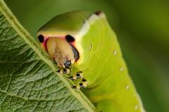 Puss Moth Caterpillar mug shot (bojangles_1953) Tags: moth caterpillar puss pussmothcaterpillar