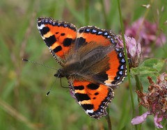 Small Tortoiseshell Butterfly (Chrissie28IWish! ~ hubby passed away 5th Dec peace) Tags: blue red white black yellow butterfly insect wings furry bokeh head small tortoiseshell lepidoptera clover markings antennae proboscis thorax abdomen giveusyourbestshot 2014b 522014week27