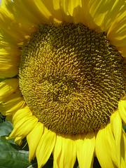 Batavia, IL, Sunflower Macro (Mary Warren (5.2+ Million Views)) Tags: plants flower macro nature yellow flora blossom sunflower bloom