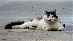 Cat (Elanor82) Tags: animal cat canon croatia powershot katze gatto croazia tier istria hrvatska maka istra kroatien istrien ivotinja sx50hs