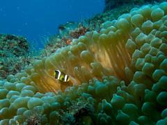 anenome fish (ce2de2) Tags: ocean fish underwater diving scubadiving reef coffsharbour stradbrokeisland southsolitaryislands visibility1520m