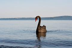 Black Swan (lorenzoviolone) Tags: life lake black mountains water animal landscape duck reflex swan nikon fav50 dslr kodakportra800 appleaperture lakescape fav10 fav25 fav100 vsco d5200 afsnikkor50mmf18g nikond5200 vscofilm