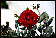 Good morning friends !!!!! (Rambonp love's all creatures of Universe.) Tags: pink flowers blue trees roses wallpaper sky plants india white green nature leaves silhouette rose yellow clouds canon garden paradise resort rosebud crop bud agriculture punjab rosegarden cultivation chandigarh  42ndrosefestchandigarh