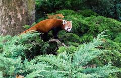 Red panda (Wouter de Bruijn) Tags: cute zoo rotterdam blijdorp firefox redpanda cuddly fujifilm lesserpanda xt1 redcatbear fujinonxf35mmf14r