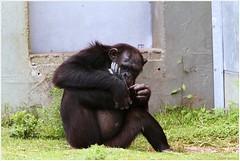 Chimpansee (Pan troglodytes) (7D011384) (Hetwie) Tags: animals zoo dieren aap safaripark beeksebergen dierentuin pantroglodytes chimpansee mensaap afrikaansemensaap