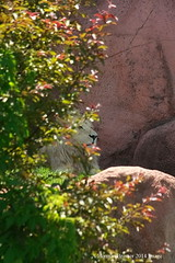 Solitary (Herman Bresser:) Tags: zoo rocks king lion relaxing single herman wildanimal resting hiding torontozoo seclusion malelion eos40d singleanimal
