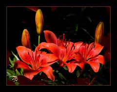 A Fine Day For These Lilies To Shine (Vidterry) Tags: lily noelridgegarden
