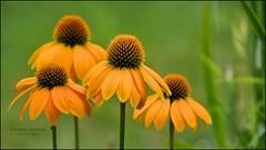 NEW VARIETY, II (susies.genii) Tags: macro echinacea coneflower ourgarden petersgarden summergarden orangepetals bokehbackground ourjulygarden july18192014