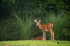 Fawns at woodedge (Donald.Gallagher) Tags: brown green nature animals woods deer spots fawn mammals lenstagger
