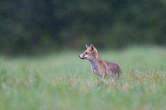 Prise d'informations. (lilian.lemonnier) Tags: mammals mammalia carnivores redfox vulpesvulpes renardeau carnivora canidae mammifres renardroux canids