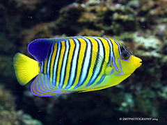 af-1-1-1 (Stewart Taylor (SMT Photography)) Tags: ocean sea fish nature water coral photography photo marine tropical endangered reef naturalworld marinelife