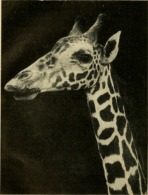 Image from page 115 of Annales des sciences naturelles (1911)