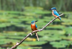 2 young kingfisher's (Artefax Jericho) Tags: