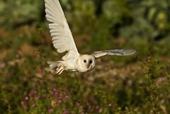 Barn Owl (sjdugdale1) Tags: nature birds wildlife southport owls barnowl farmlandbirds