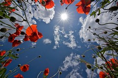 Zomer - Summertime (de_frakke) Tags: sun zon poppies klaprozen nature natuur rood middag zomer summer red coquelicot