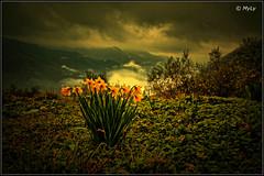 Resistenze (Maurizio Longinotti) Tags: coreglialigure resistenze narciso narcisogiallo valfontanabuona fontanabuona fiori flowers nuvole clouds giallo yellow liguria italia landscape